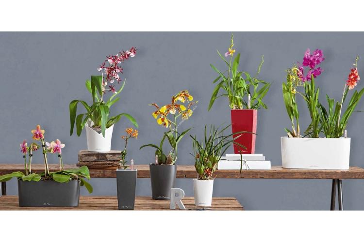 lechuza orhid new